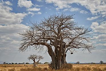 Baobab tree, Ruaha National Park, Tanzania, East Africa, Africa