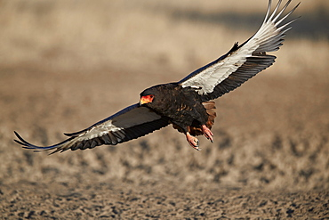 Bateleur (Terathopius ecaudatus) landing, female, Kgalagadi Transfrontier Park, encompassing the former Kalahari Gemsbok National Park, South Africa, Africa