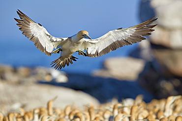 Cape gannet (Morus capensis) landing, Bird Island, Lambert's Bay, South Africa, Africa