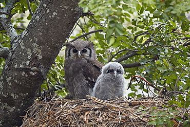 Verreaux's eagle owl (giant eagle owl) (Bubo lacteus) adult and chick on their nest, Kruger National Park, South Africa, Africa