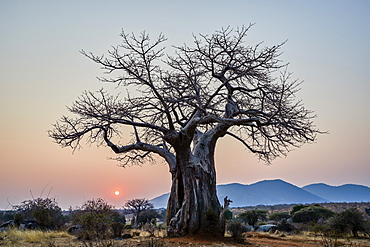 Baobab (Adansonia digitata) at sunrise, Ruaha National Park, Tanzania, East Africa, Africa