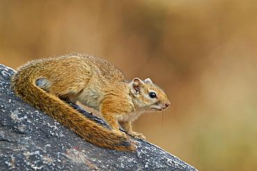 Tree Squirrel (Smith's bush squirrel) (yellow-footed squirrel) (Paraxerus cepapi), Ruaha National Park, Tanzania, East Africa, Africa