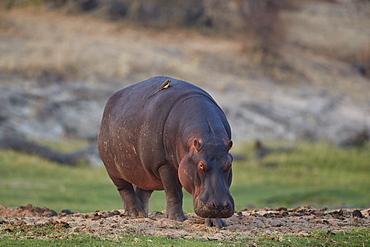 Hippopotamus (Hippopotamus amphibius), Ruaha National Park, Tanzania, East Africa, Africa