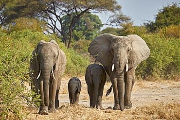 African elephant (Loxodonta africana) group, Ruaha National Park, Tanzania, East Africa, Africa