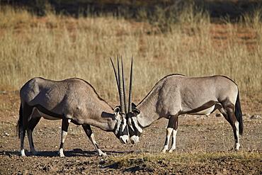 Gemsbok (South African Oryx) (Oryx gazella) sparring, Kgalagadi Transfrontier Park, South Africa, Africa