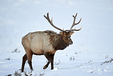 Elk (Cervus canadensis) bull in the snow in winter, Yellowstone National Park, Wyoming, United States of America, North America