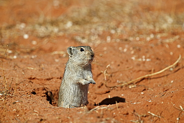 Brant's whistling rat (Parotomys brantsii), Kgalagadi Transfrontier Park, South Africa, Africa