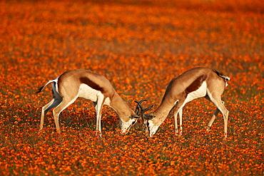 Springbok (Antidorcas marsupialis) sparring among wildflowers, Namaqualand National Park, Namakwa, Namaqualand, South Africa, Africa