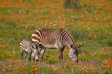 Cape mountain zebra (Equus zebra zebra) among wildflowers, West Coast National Park, South Africa, Africa