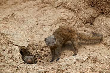 Dwarf Mongoose (Helogale parvula), two at burrow, Kruger National Park, South Africa, Africa