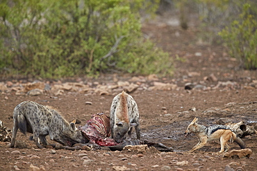 Spotted hyena (Crocuta crocuta) and black-backed jackal (Canis mesomelas) at a zebra carcass, Kruger National Park, South Africa, Africa