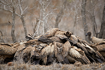 Pile of African white-backed vulture (Gyps africanus) fighting at a carcass, Kruger National Park, South Africa, Africa