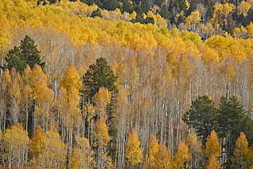 Yellow aspen trees in the fall, San Juan National Forest, Colorado, United States of America, North America