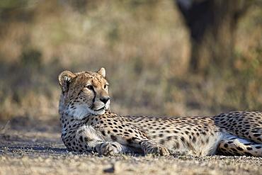 Cheetah (Acinonyx jubatus), Ngorongoro Conservation Area, Tanzania, East Africa, Africa