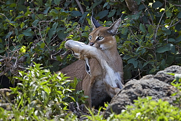 Caracal (Caracal caracal) with a young Thomson's Gazelle (Gazella thomsonii), Ngorongoro Crater, Tanzania, East Africa, Africa
