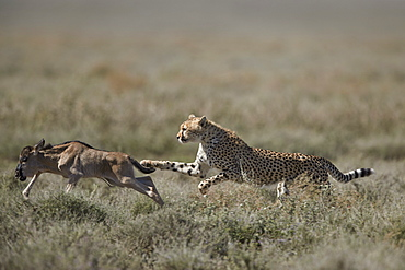 Cheetah (Acinonyx jubatus) taking down a baby blue wildebeest (Connochaetes taurinus), Ngorongoro Conservation Area, Tanzania, East Africa, Africa
