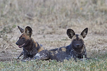 African wild dog (African hunting dog) (Cape hunting dog) (Lycaon pictus), Ngorongoro Conservation Area, Tanzania, East Africa, Africa