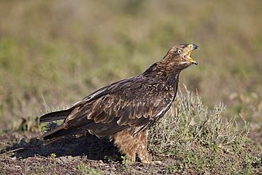 Tawny eagle (Aquila rapax) calling, Ngorongoro Conservation Area, Tanzania, East Africa, Africa