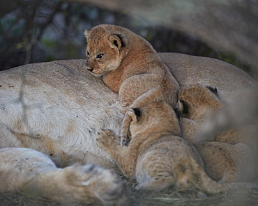 Lion (Panthera leo) cubs about four weeks old, Ngorongoro Conservation Area, Tanzania, East Africa, Africa