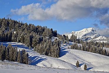 Fresh snow on evergreens, Yellowstone National Park, UNESCO World Heritage Site, Wyoming, United States of America, North America