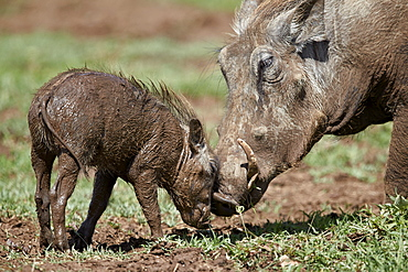 Warthog (Phacochoerus aethiopicus) adult and piglet, Ngorongoro Crater, Tanzania, East Africa, Africa