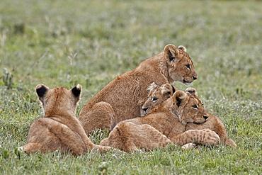Four lion (Panthera leo) cubs, Ngorongoro Crater, Tanzania, East Africa, Africa
