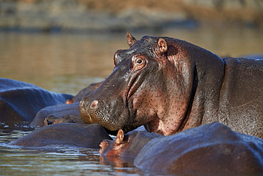 Hippopotamus (Hippopotamus amphibius) in a hippo pool, Serengeti National Park, Tanzania, East Africa, Africa