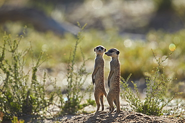 Two Meerkat (Suricate) (Suricata suricatta) prairie-dogging, Kgalagadi Transfrontier Park, South Africa, Africa