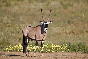 Gemsbok (South African Oryx) (Oryx gazella) buck, Kgalagadi Transfrontier Park, South Africa, Africa