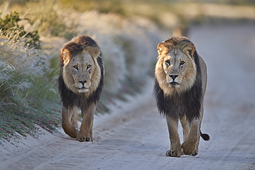 Two lions (Panthera leo), Kgalagadi Transfrontier Park, South Africa, Africa
