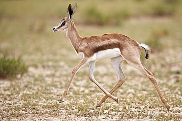 Springbok (Antidorcas marsupialis) calf running, Kgalagadi Transfrontier Park, South Africa, Africa