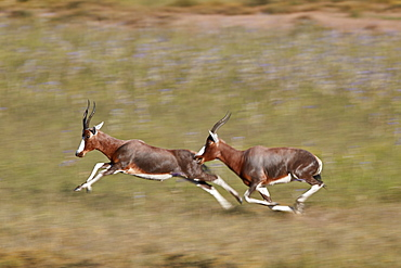 Blesbok (Damaliscus pygargus phillipsi), male chasing another, Mountain Zebra National Park, South Africa, Africa