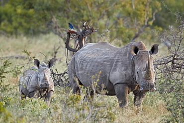 White Rhinoceros (Ceratotherium simum) mother and calf, Kruger National Park, South Africa, Africa