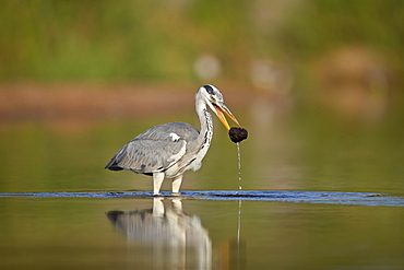 Gray Heron (Grey Heron) (Ardea cinerea) with potential food, Kruger National Park, South Africa, Africa