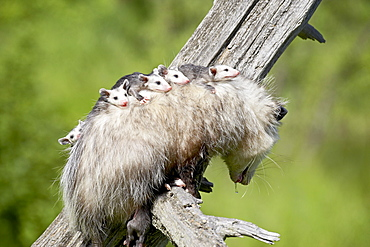 Opossum (Didelphis virginiana) mother and babies, in captivity, Sandstone, Minnesota, United States of America, North America