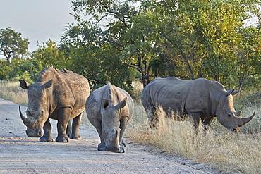 Three White Rhinoceros (Ceratotherium simum), Kruger National Park, South Africa, Africa