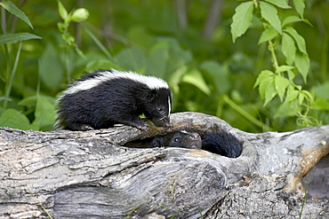 Striped skunk (Mephitis mephitis) baby on log with adult in log, in captivity, Sandstone, Minnesota, United States of America, North America