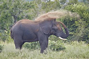 African Elephant (Loxodonta africana) bull dust bathing, Kruger National Park, South Africa, Africa