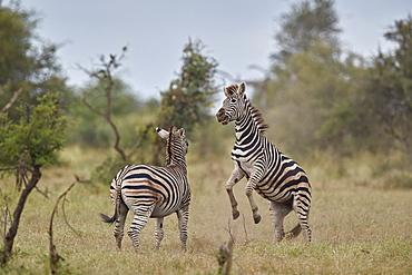 Chapman's Zebra (Plains Zebra) (Equus quagga chapmani) sparring, Kruger National Park, South Africa, Africa