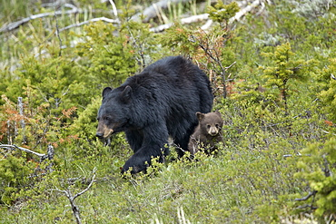Black Bear (Ursus americanus) sow and chocolate cub-of-the-year, Yellowstone National Park, UNESCO World Heritage Site, Wyoming, United States of America, North America