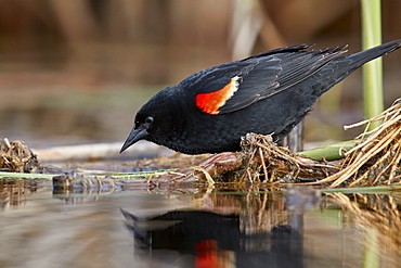 Red-winged Blackbird (Agelaius phoeniceus), male, Lac Le Jeune Provincial Park, British Columbia, Canada, North America
