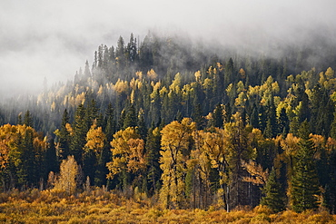 Yellow aspens and cottonwoods in the fall with fog, Uncompahgre National Forest, Colorado, United States of America, North America