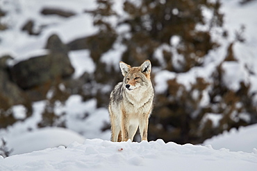 Coyote (Canis latrans) in winter, Yellowstone National Park, UNESCO World Heritage Site, Wyoming, United States of America, North America