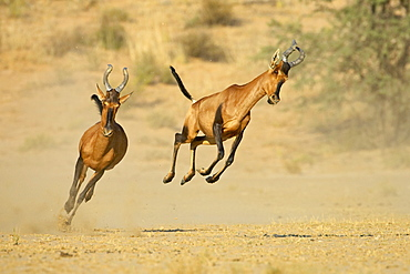 Two red hartebeest (Alcelaphus buselaphus) running and playing, Kgalagadi Transfrontier Park, encompassing the former Kalahari Gemsbok National Park, South Africa, Africa