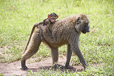 Olive baboon (Papio cynocephalus anubis) baby riding on its mother's back, Serengeti National Park, Tanzania, East Africa, Africa