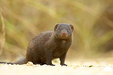 Dwarf mongoose (Helogale parvula), Kruger National Park, South Africa, Africa