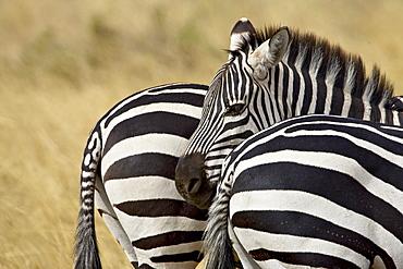 Common zebra (Burchell?� s zebra) (Equus burchelli), Masai Mara National Reserve, Kenya, East Africa, Africa