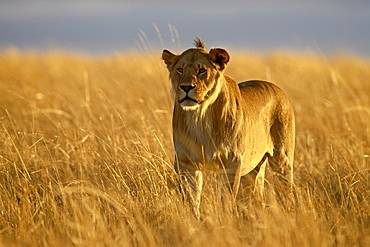 Young male lion (Panthera leo) in early morning light, Masai Mara National Reserve, Kenya, East Africa, Africa