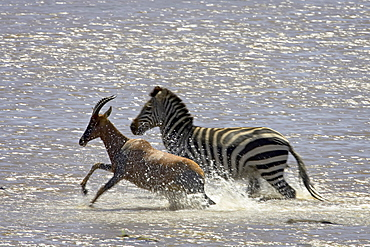 Grant•À?s zebra (Plains zebra) (common zebra) (Equus burchelli boehmi) and topi (tsessebe) (Damaliscus lunatus) crossing the Mara River, Masai Mara National Reserve, Kenya, East Africa, Africa