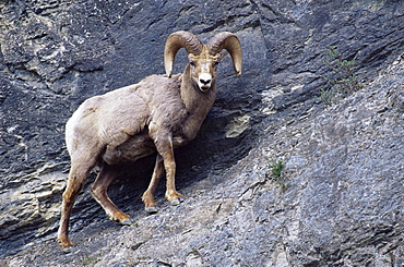 Male bighorn sheep (Ovis canadensis), Banff National Park, Alberta, Canada, North America